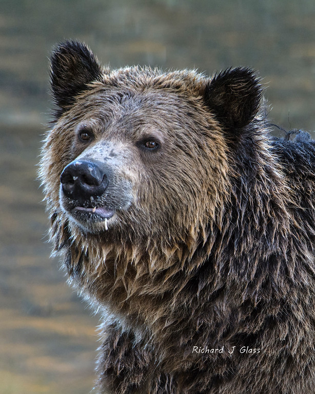 Grizzly with Bad Table Manners